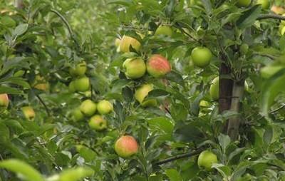 elstar appels plukken
