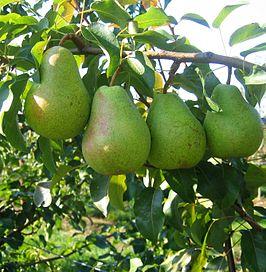 Lukas_pear